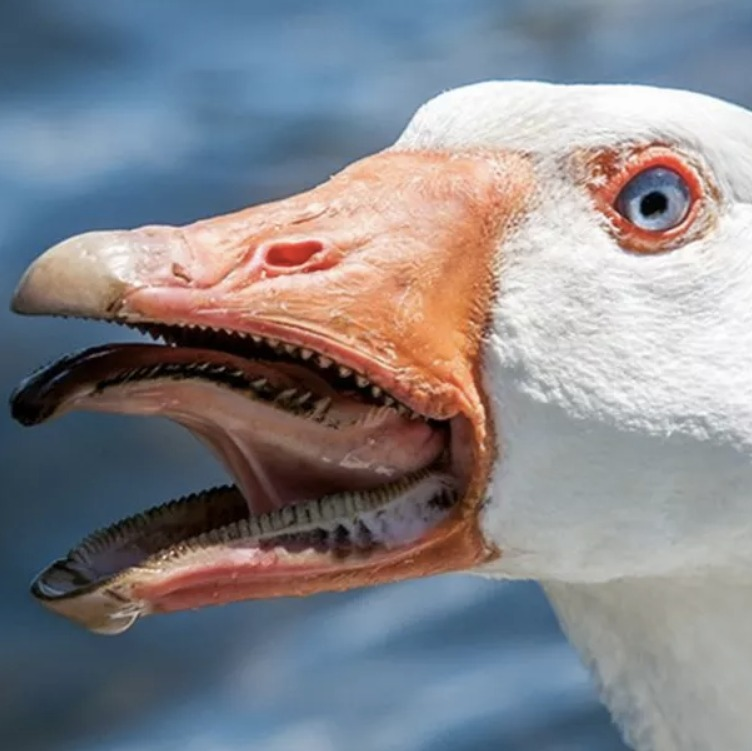 is a goose