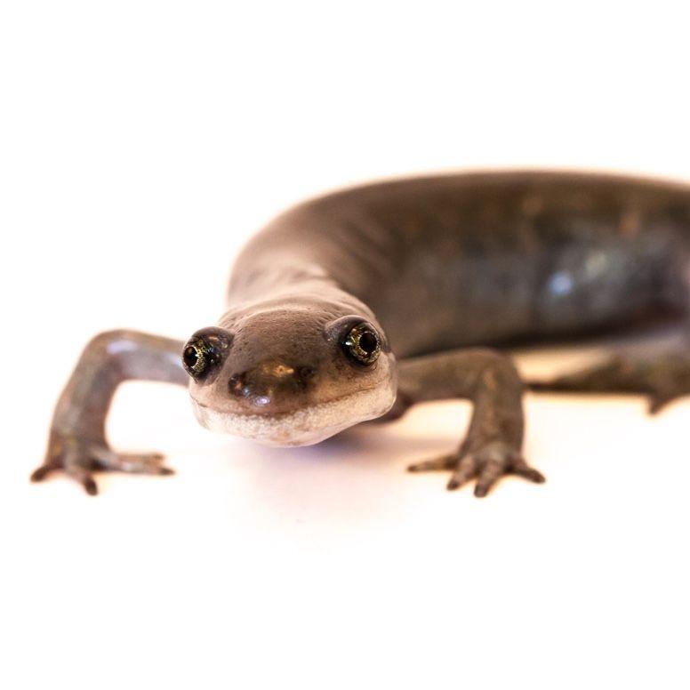 Da Salamander