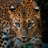 leopardus