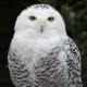 whiteowl_18