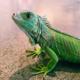 Lizard23