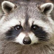 Radical Raccoon