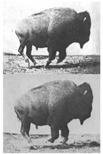 Buffalo Running