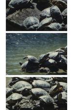 Tartarughe d'acqua