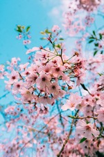 Sakura Genesis