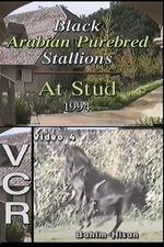 Black Arabian Purebred Stallions At Stud